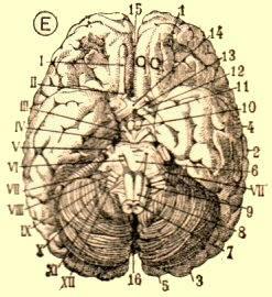 cerveauE